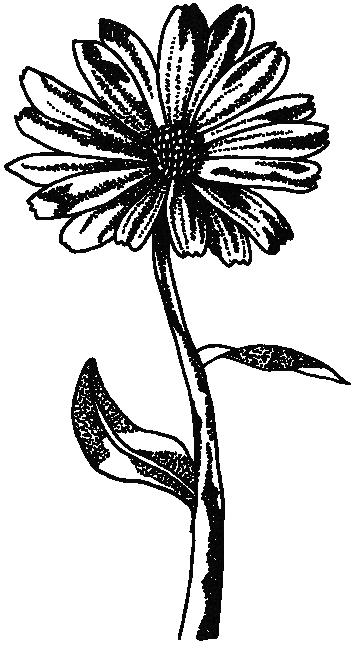 Image of calendula flower used in our Organic skincare range