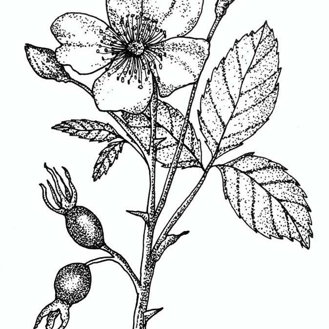 Image of a Rosehip flower - Organic skincare range